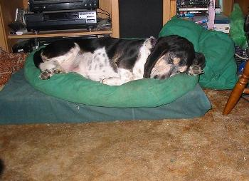 Mr. Basset in his bed