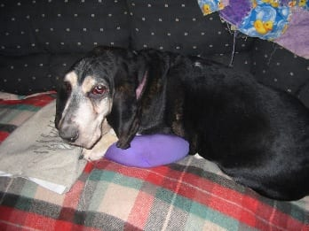 Basset with pillow and heating pad